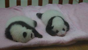 中国、成都にて。タオルに乗せられたパンダの赤ちゃん。